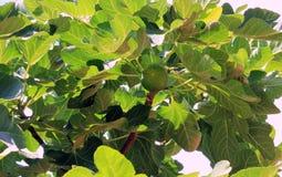 Fig. op een achtergrond van groene bladeren Stock Afbeeldingen
