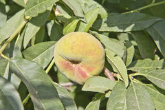 Fig peach Stock Photography