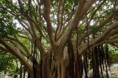 Fig plant. Fig plant Ficus vasta. Viera y Clavijo Botanic Garden. Tafira. Las Palmas de Gran Canaria. Gran Canaria. Canary Islands. Spain Royalty Free Stock Photography