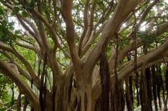 Fig plant. Fig plant Ficus vasta. Viera y Clavijo Botanic Garden. Tafira. Las Palmas de Gran Canaria. Gran Canaria. Canary Islands. Spain Royalty Free Stock Images