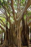 Fig plant. Fig plant Ficus vasta. Viera y Clavijo Botanic Garden. Tafira. Las Palmas de Gran Canaria. Gran Canaria. Canary Islands. Spain stock images