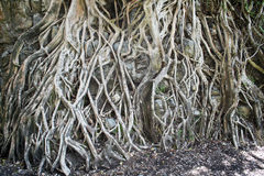 Fig roots Royalty Free Stock Image