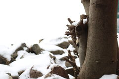 Fig and stones covered with snow. Fig and stones are covered with snow in a cold winter day stock photography