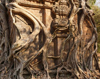 Fig strangling temple Royalty Free Stock Image