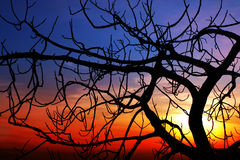 Fig at sunset. A brenched fig is standing against the sunset. The black brenhces creates an intricated dark pattern royalty free stock images