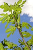 Fig tree Royalty Free Stock Image