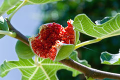 Free Fig Tree Stock Photography - 11568622