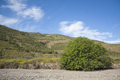 Fig Tree. In its natural environment with hills on the background full of pine trees and blue sky with white clouds stock images