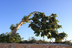 A fig tree Stock Photos