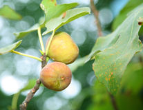 Fig tree stock images