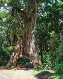 The fig Tree Arch at Arusha National Park. Tanzania stock photography