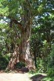 The fig Tree Arch at Mount Meru, Tanzania. The fig Tree Arch at Arusha National Park, Tanzania stock photos