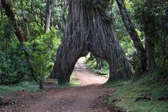The fig Tree Arch at Mount Meru, Tanzania. The fig Tree Arch at Arusha National Park, Tanzania royalty free stock photo