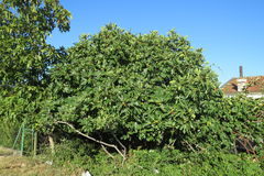 Fig tree. In Bar-city, Montenegro stock photography