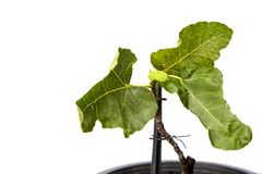 Fig tree in black plastic pot royalty free stock images