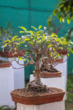 Fig Tree Bonsai Stock Photos