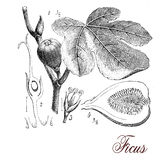 Fig tree, botanical vintage engraving. Vintage print describing fig tree botanical morphology: tri-veined leaves, aerial roots, inflorescences (syconium) and Stock Photo
