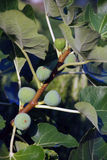 Fig tree branch Stock Photography