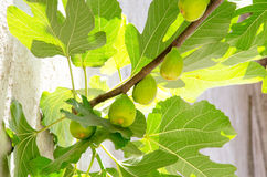 Fig tree branch Royalty Free Stock Photos