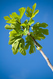 Fig tree branch Stock Image