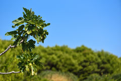 Fig Tree Branch Stock Photo