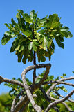 Fig Tree Branch Stock Images