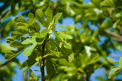 Fig tree branches Stock Image