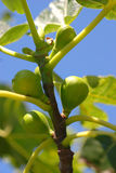 Fig tree branches against blue sky Royalty Free Stock Photos