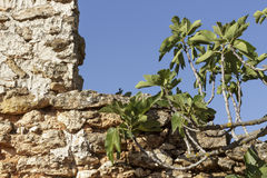 Fig tree branches front of an old stonewall Stock Image