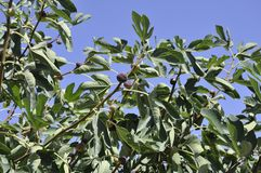 Fig tree branches with ripe fruits in the blue sky. From Crete island of Greece on september 2017 stock photos