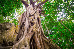 Fig Tree in Cape Tribulation rainforest. Huge fig tree with impressive roots in the old rainforest near Cape Tribulation Stock Photo