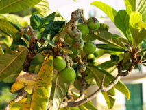 Fig tree close up Royalty Free Stock Images