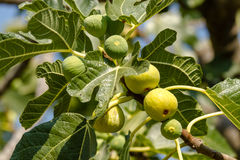 Fig tree Stock Photos