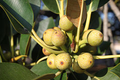 Fig Tree Royalty Free Stock Photography