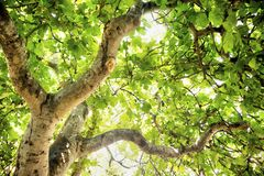 Fig tree in vegetation. Fig tree in complete vegetation in the summer season Royalty Free Stock Photography