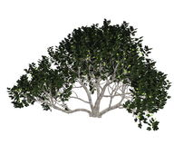 Fig tree - 3D render Stock Images