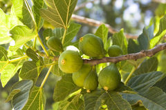 Fig Tree - Detail Royalty Free Stock Image
