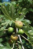 Fig tree (Ficus carica) fruits Royalty Free Stock Photos