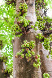 Fig tree, Ficus carica, Subtropical fruit Royalty Free Stock Photography
