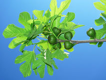Fig tree with figs Stock Photos