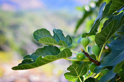 Fig tree. Figs fruit hanging on a branch Stock Image
