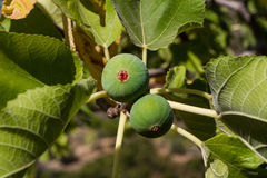 Fig tree with figs Royalty Free Stock Photos