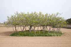 Fig Tree, Formentera, Balearic Islands Royalty Free Stock Images