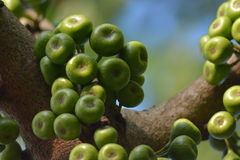 Fig tree fruit Royalty Free Stock Image