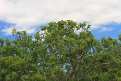 Fig tree with fruits on blue sky background Stock Image