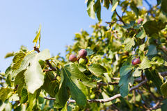 Fig tree with fruits Stock Photos