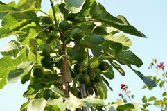 Fig tree with fruits Royalty Free Stock Photos