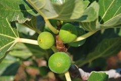 Fig tree, Greece Stock Images