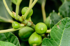 Fig tree. Green figs ripening on the tree Stock Image