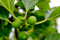Fig tree. Green figs ripening on the tree Stock Photography